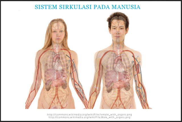 SISTEM SIRKULASI PADA MANUSIA